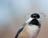 birdbrain chickadee